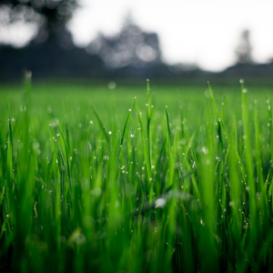 close up image of blades of grass with a sprinkle of water drops on them.