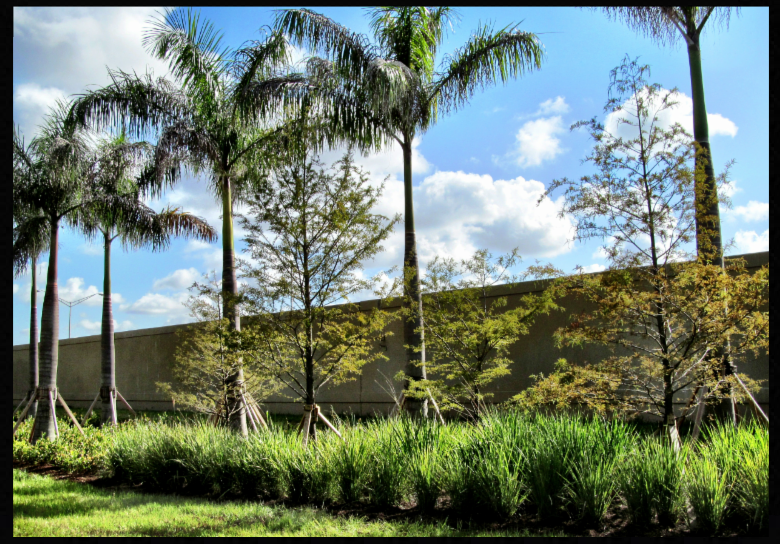 Royal Palm trees and Bald Cypress trees planted on the Palmetto Expressway in Miami-Dade County.