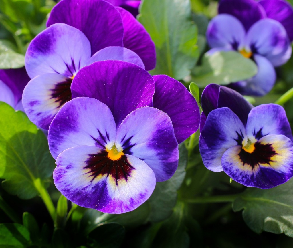 Close up of a small cluster of pansies